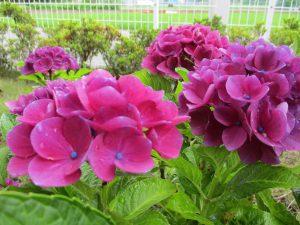 紫陽花が咲いております♪